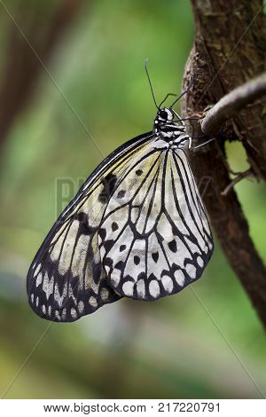 Paper Kite or Rice Butterfly, Idea leuconoe, butteflies of Thailand, Malaysia and Borneo