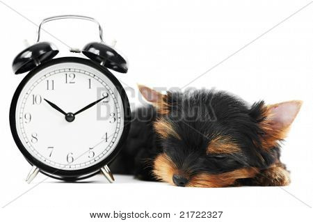 One little Yorkshire Terrier (3 month) puppy dog with alarm clock isolated over white background poster