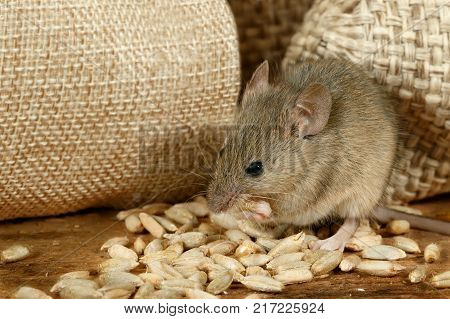 closeup the mouse eats the grain near the burlap bags on the floor of the pantry