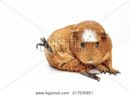 Karate guinea pig (guinea pig sitting in a funny pose as if doing karate) isolated on white copy space on the left