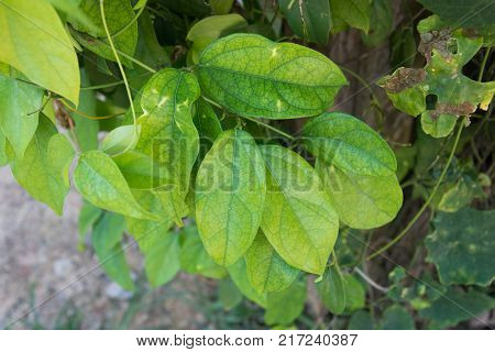 Tiliacora triandra or Thailand name Bai ya nang.