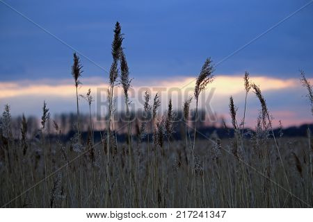 Common reed (Phragmites australis) with a blurred background of trees on the horizon, cloud and a sunset behind.