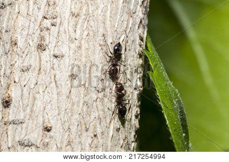 Red wood ants, Formica rufa, pheromone transmission