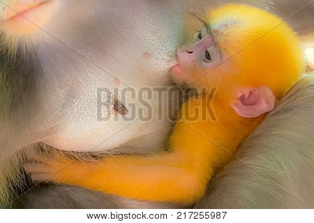 DUSKY LEAF MONKEY BREASTFEEDS HER OFFSPRING: The mother is breastfeeding her baby while hugging it close to her chest. The little baby has a cute pink face, long eyebrows, and orange color furry hair