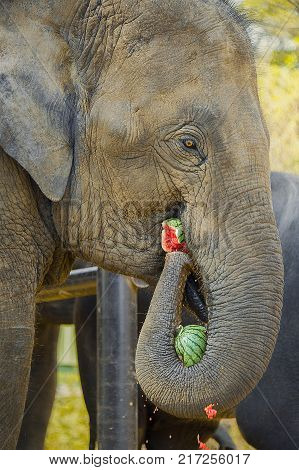 ELEPHANT MUNCHING WATERMELON. An elephant grabs a watermelon with his trunk, while munching another in his mouth.