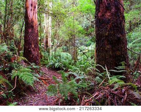 Rainforest in the Great Otway National Park of southern Victoria Australia
