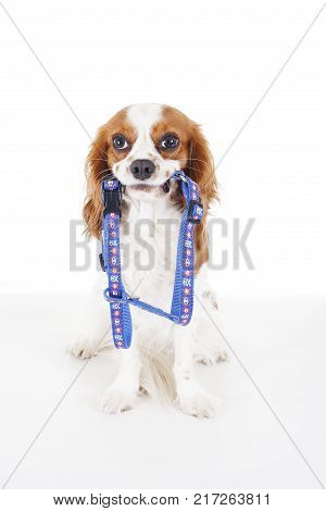 Pet harness with dog. Avoid puppy lost accidents. Beautiful friendly cavalier king charles spaniel dog. Purebred canine trained dog puppy. Blenheim spaniel dog puppy with pet harness. Cute harness, . poster