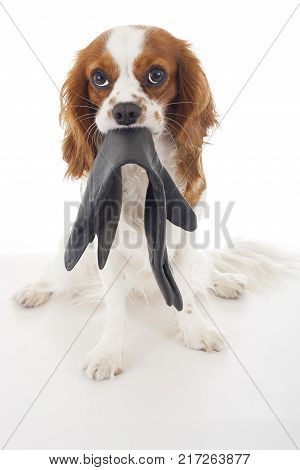 Guilty dog. Cavalier king charles spaniel dog photo. Beautiful cute cavalier puppy dog on isolated white studio background. Trained pet photos for every concept.