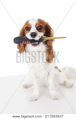 Screwdriver Cavalier king charles spaniel dog photo. Beautiful cute cavalier puppy dog on isolated white studio background. Trained pet photos for every concept.