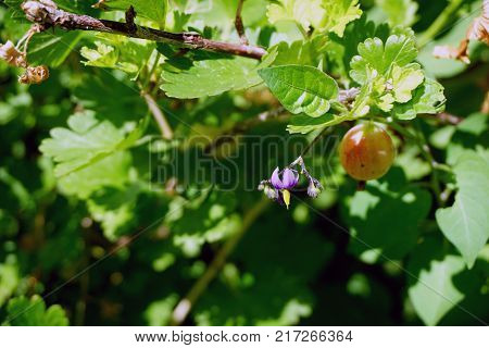 A flower of a bittersweet nightshade plant (Solanum dulcamara) blooms next to a ripening gooseberry ( Ribes uva-crispa) in a garden in Joliet, Illinois during June.
