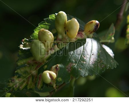 The photo shows Galls on elm leaves. Image with local focusing