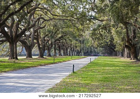 A stunning country lane lined with ancient live oak trees draped in spanish moss. Near Charleton South Carolina USA