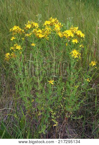 Hypericum perforatum known as St John's wort common or perforate St John's-wort