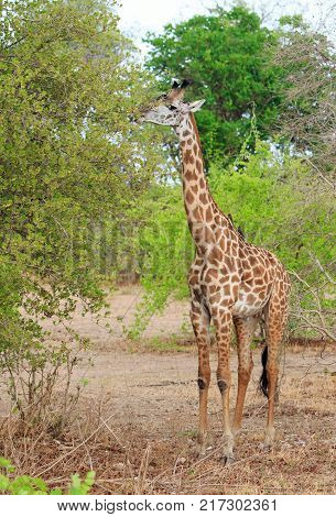 Full Frame Thornicroft Giraffe (Giraffa camelopardalis) feeding from a succulent green bushwith oxpekers perched on it's neck in south Luangwa National Park Zambia Southern Africa