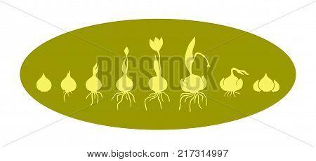 Life cycle of bulbous plants, grown bulbous flower