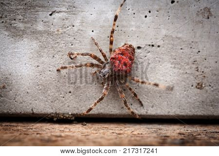 Braided spider Araneus angulatus red adult scary poisonous spider with red belly close up vanishing species of spiders listed in the red book