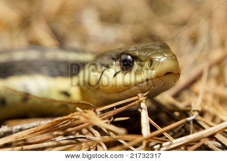 Garter Snake On Pine Needles