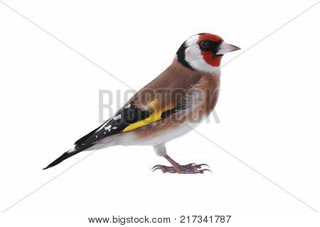 a goldfinch isolated on a white background