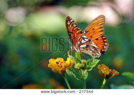 Butterflylantana