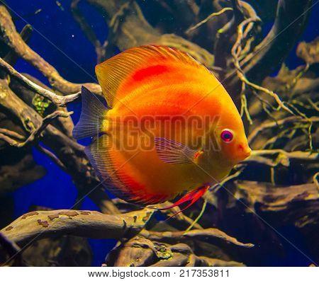 Discus fish (Pompadour). Fishes in an aquarium