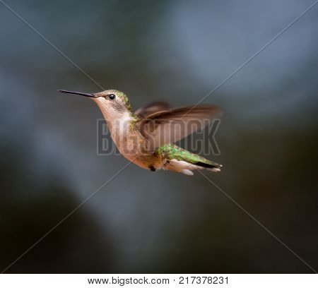 Ruby Throated Hummingbird female in a boreal forest in Northern Quebec.