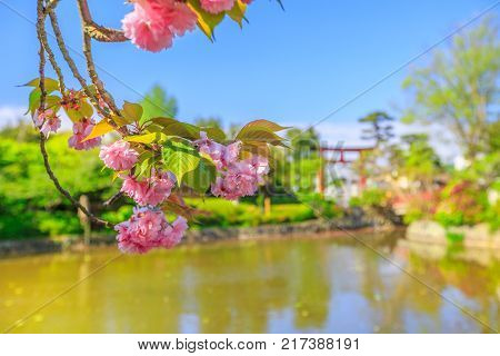 Details of cherry blossom on foreground over small lakes called Genpei inside Tsurugaoka Hachimangu complex in Kamakura, Japan. Red Torii on blurred background. Spring concept, Hanami and outdoor life poster