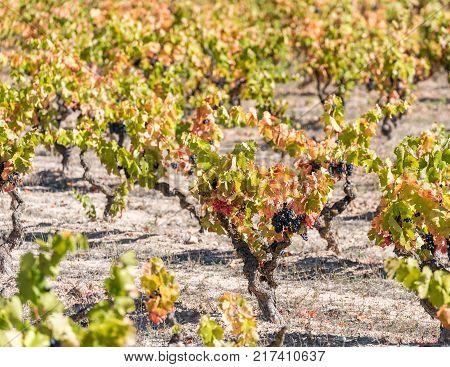Ripe Grapes In The Garden Siurana, Catalunya, Spain. Close-up