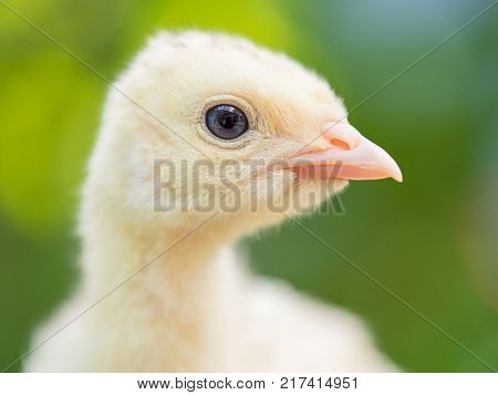 Cute little newborn chicken turkey, on green outdoors background. One young nice big bird - close-up portrait.
