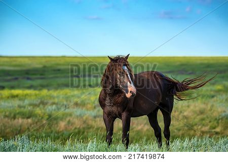 Mustang stallion or wild horses graze on meadow in Rostov national reserve, Russia