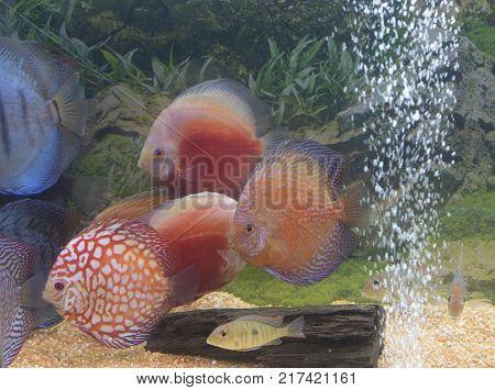 Aquarium full of coloured discus fishes view