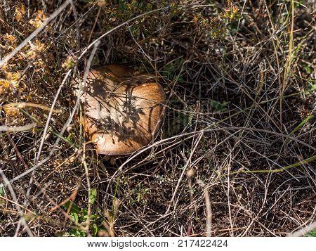 Picking Mushrooms. Mushroom Hid In The Grass Siurana, Catalunya, Spain. Close-up