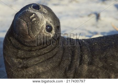 Southern Elephant Seal pup (Mirounga leonina) on Sea Lion Island in the Falkland Islands.