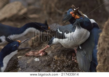 Pair of Imperial Shag (Phalacrocorax atriceps albiventer) fighting over a nesting site on the cliffs of Saunders Islands in the Falkland Islands.