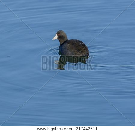 An American Coot (Fulica Americana), also known as a Mudhen, not a duck, swimming on a lake in York County, Pennsylvania, USA.
