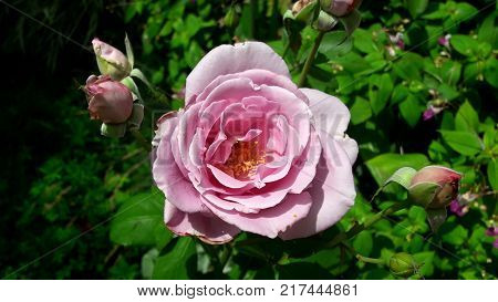 Closeup of pink rose blooming with few smaller bubs at each side and green leaves in background