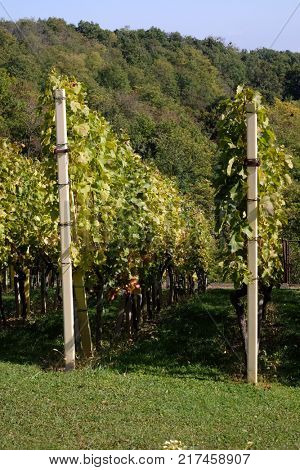 PLESIVICA, CROATIA - OCTOBER 08: Rows of young grapes in the countryside Plesivica in continental Croatia on October 08, 2016.