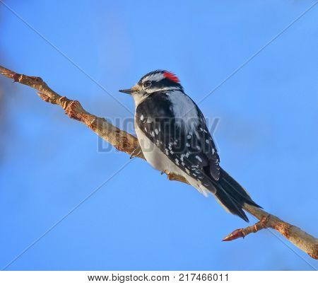 beautiful and colorful downy woodpecker in a natural setting environment looking for insects or other food