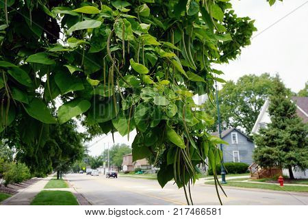 Beanpods and leaves on a hardy catalpa tree (Catalpa speciosa), in a residential area of Plainfield Road in the city of Joliet, Illinois, during July.