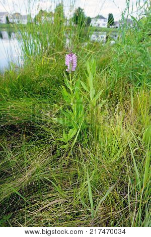 A false dragonhead flower (Physostegia virginiana), also called obedient plant, or obedience, blooms near the shore of a small lake in Joliet, Illinois, during July.