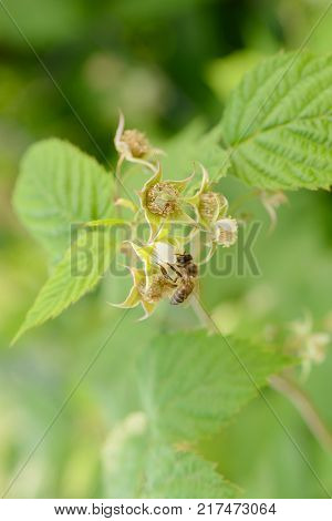 one bee collects pollen from raspberry flowers