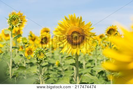 beautiful sunflower fields with mountain background on morning the Famous Attractions flower on winter in Lop buri province