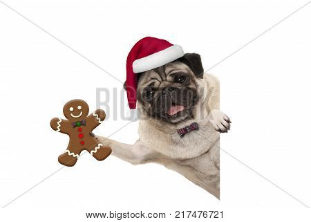 smiling Christmas pug dog holding up gingerbread man and wearing Santa hat with paw on white banner isolated