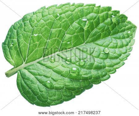 Spearmint leaf or mint leaf with water drops on white background.