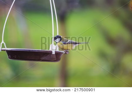 Greater titmouse bird sitting on a seed-can.