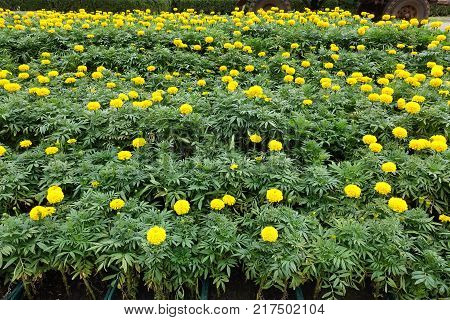Multilevel flowerbed with flowering bright yellow marigolds
