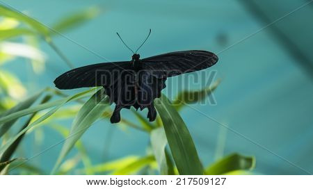 Black and red butterfly Atrophaneura semperi, from family Papilionidae, is found in Malaysia, Indonesia, and Philippines, in natural habitat