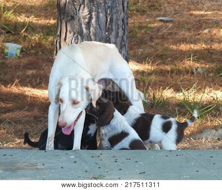 A stray bitch (dog) feeding her pups