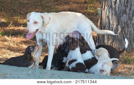 A stray dog feeding her pups