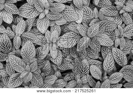 Beautiful background of nerve plant's (Fittonia argyroneura) leaves, viewed from above, in black and white.