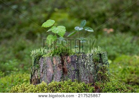 Two small saplings, moss and lichen growing on top of a stump of a tree in the forest.